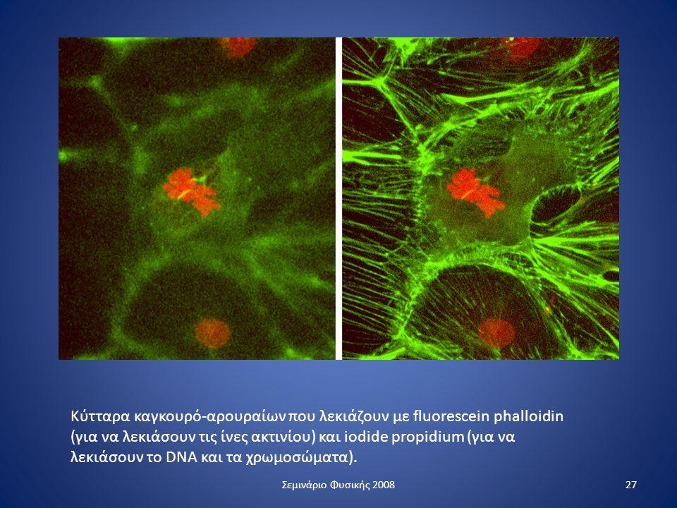 Κύτταρα καγκουρό-αρουραίων που λεκιάζουν με fluorescein phalloidin (για να λεκιάσουν τις ίνες ακτινίου) και iodide propidium (για να λεκιάσουν το DNA και τα χρωμοσώματα).