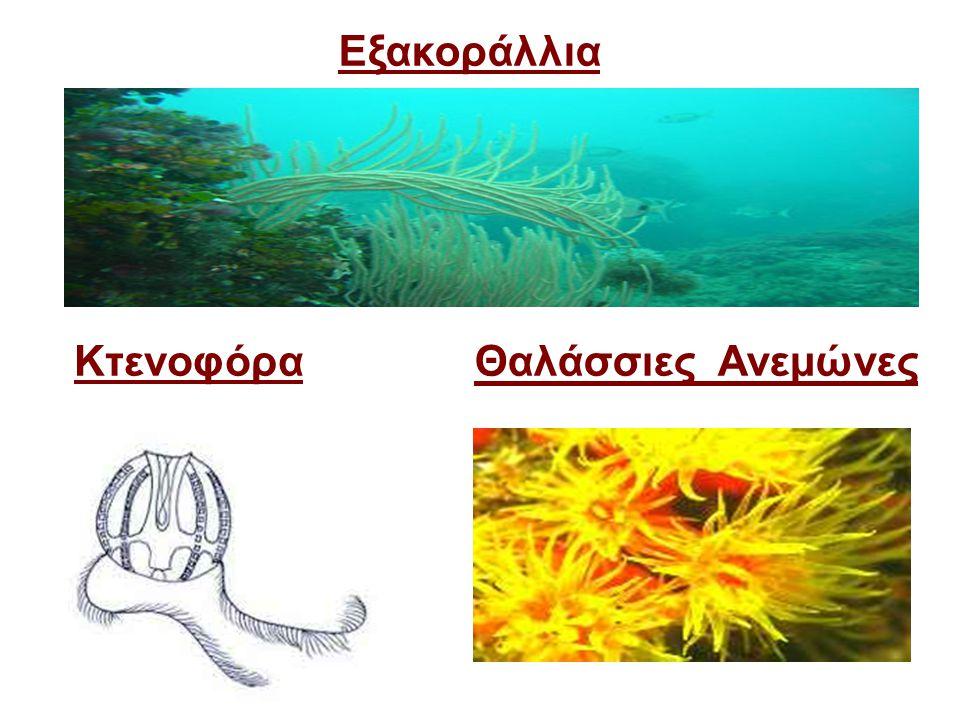 Εξακοράλλια Κτενοφόρα Θαλάσσιες Ανεμώνες