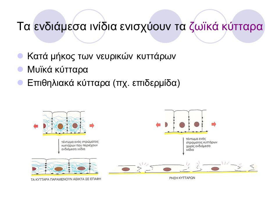 Τα ενδιάμεσα ινίδια ενισχύουν τα ζωϊκά κύτταρα