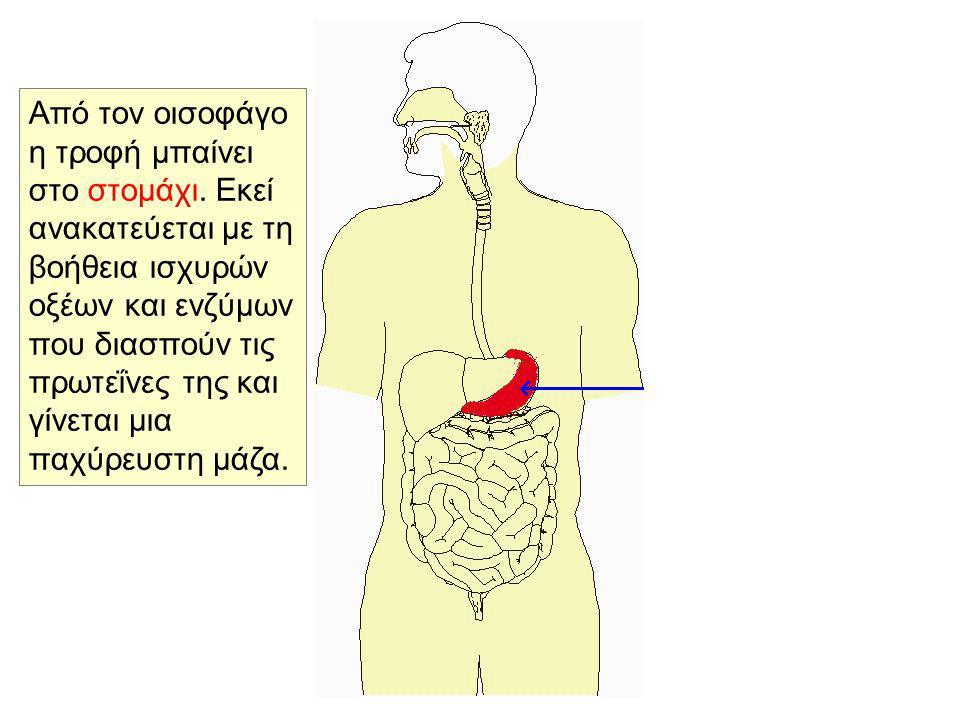 Από τον οισοφάγο η τροφή μπαίνει στο στομάχι