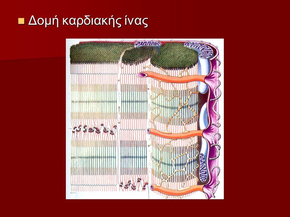 Δομή καρδιακής ίνας