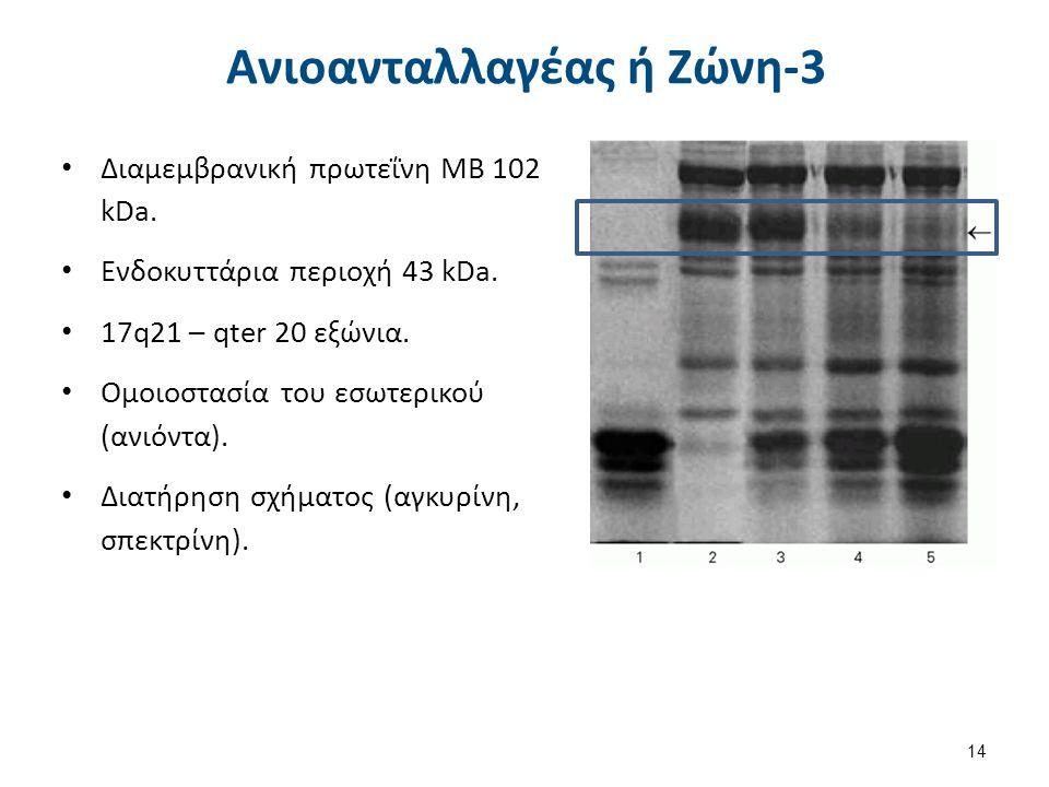 Αγκυρίνη MB 210 kDa 8p11.2 με 42 εξώνια 3 περιοχές