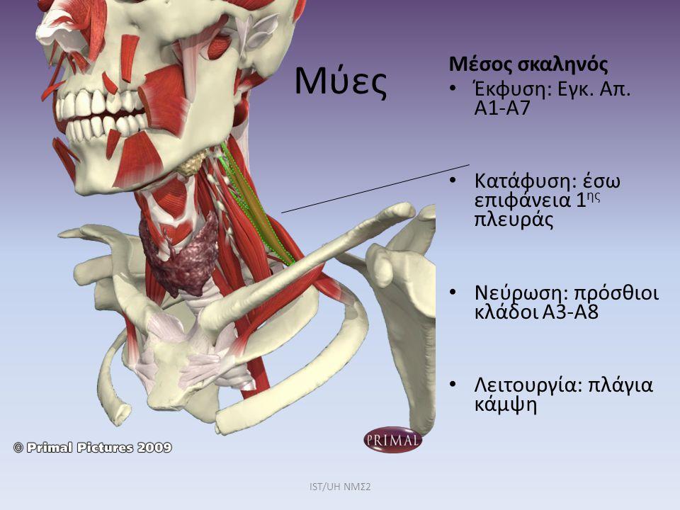 Μύες Μέσος σκαληνός Έκφυση: Εγκ. Απ. Α1-Α7
