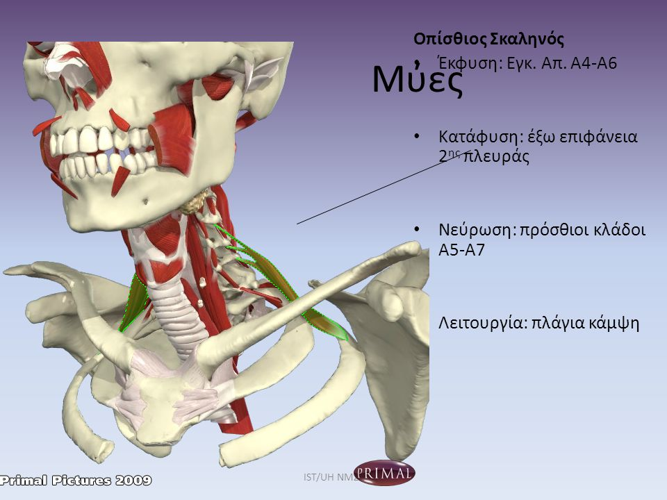 Μύες Οπίσθιος Σκαληνός Έκφυση: Εγκ. Απ. Α4-Α6