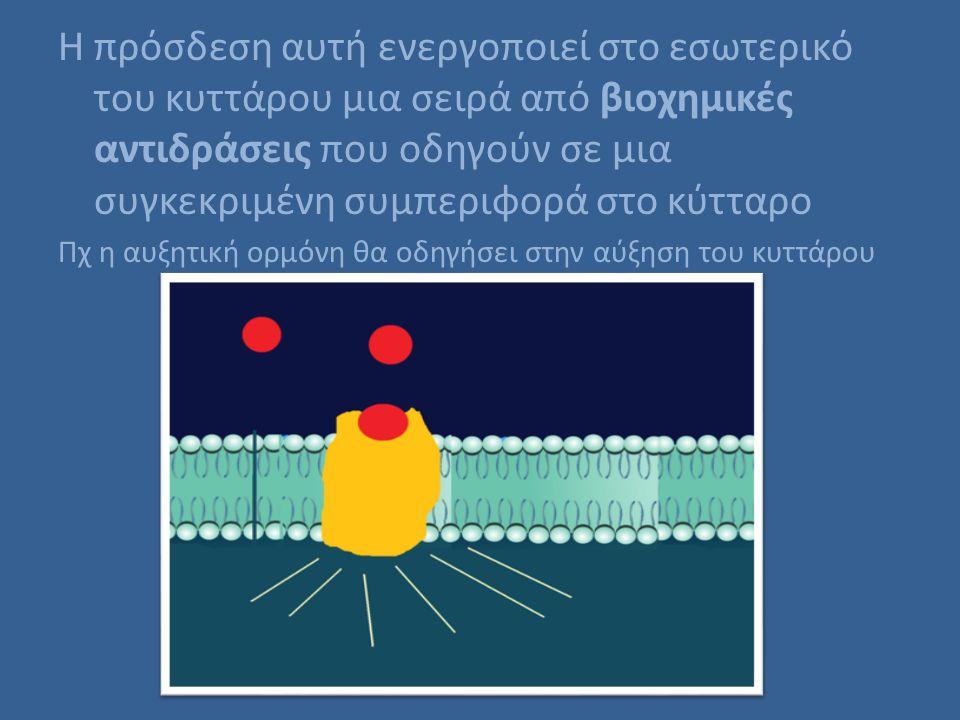 Η πρόσδεση αυτή ενεργοποιεί στο εσωτερικό του κυττάρου μια σειρά από βιοχημικές αντιδράσεις που οδηγούν σε μια συγκεκριμένη συμπεριφορά στο κύτταρο