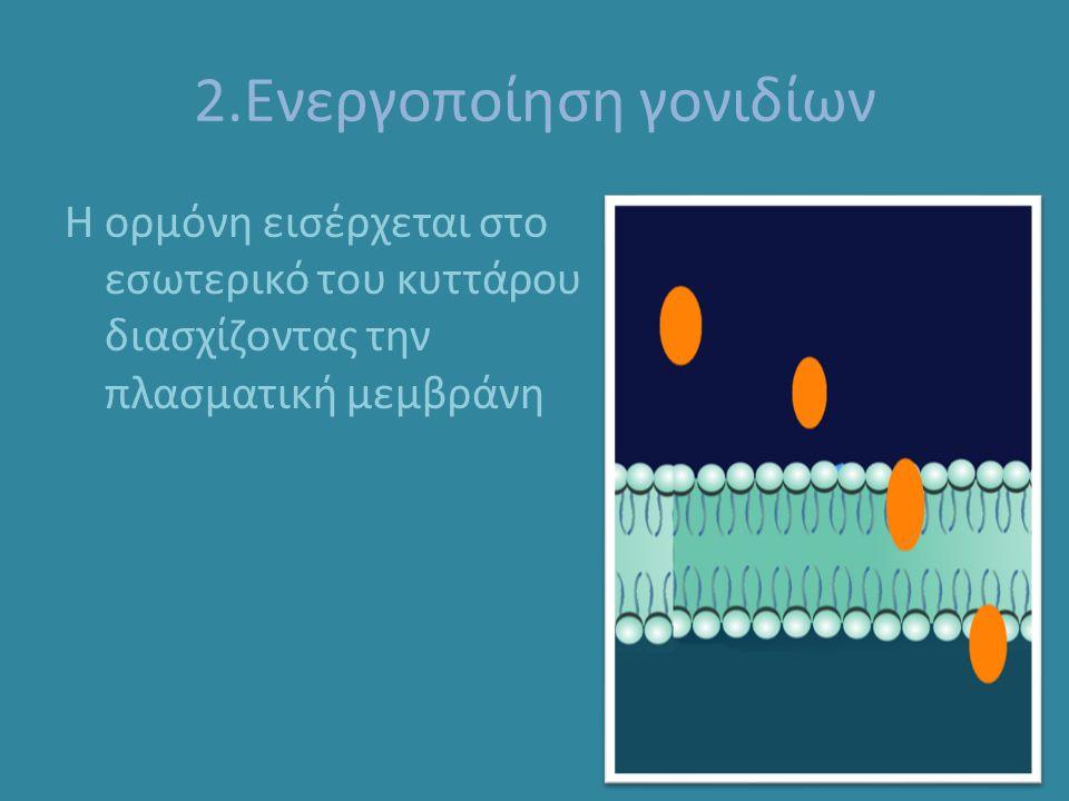 2.Ενεργοποίηση γονιδίων