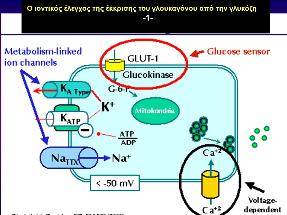 Ο ιοντικός έλεγχος της έκκρισης του γλουκαγόνου από την γλυκόζη