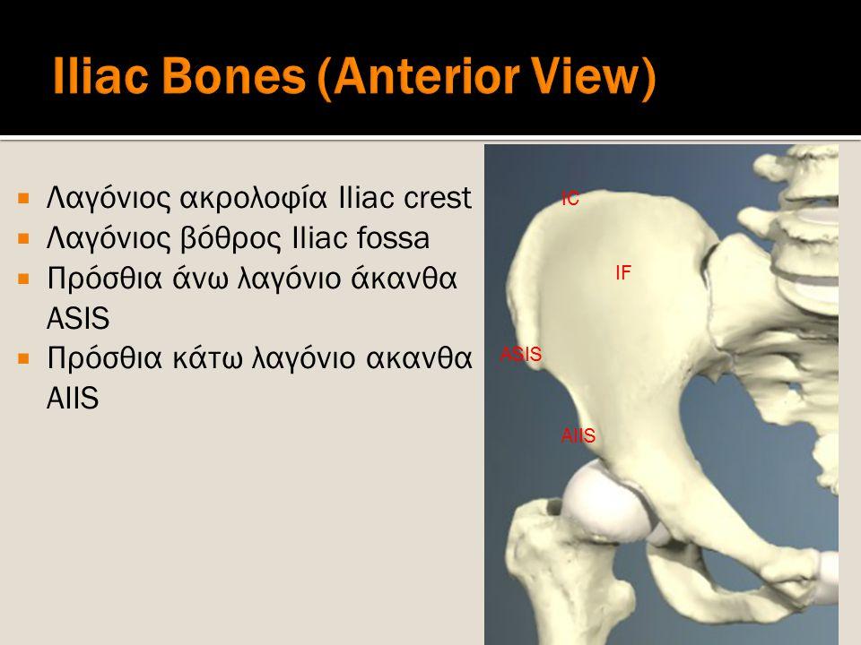 Iliac Bones (Anterior View)
