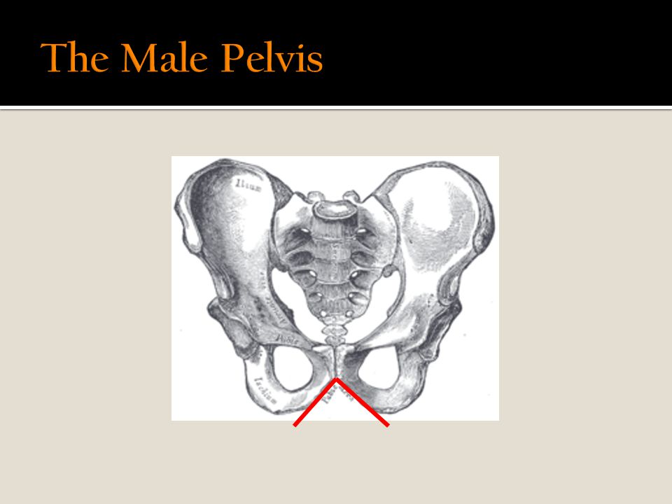 The Male Pelvis Male So why do we have in effect two different pelvic shapes