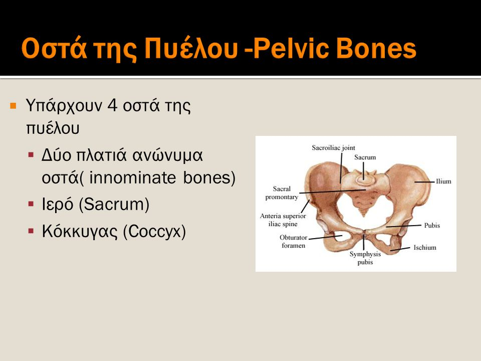 Οστά της Πυέλου -Pelvic Bones