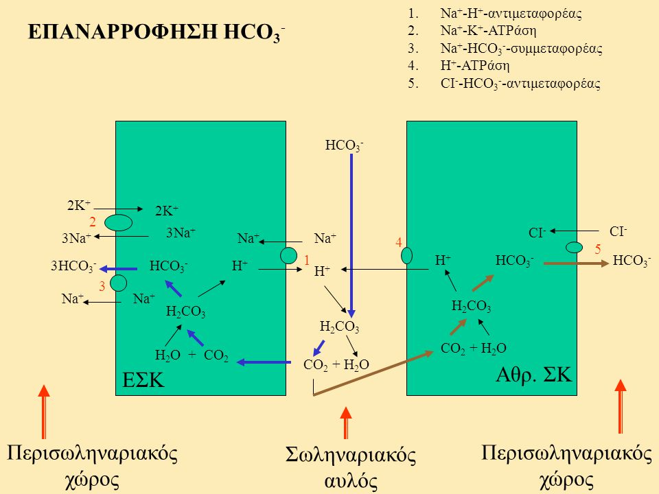 ΕΠΑΝΑΡΡΟΦΗΣΗ HCO3- Αθρ. ΣΚ ΕΣΚ Περισωληναριακός χώρος Σωληναριακός