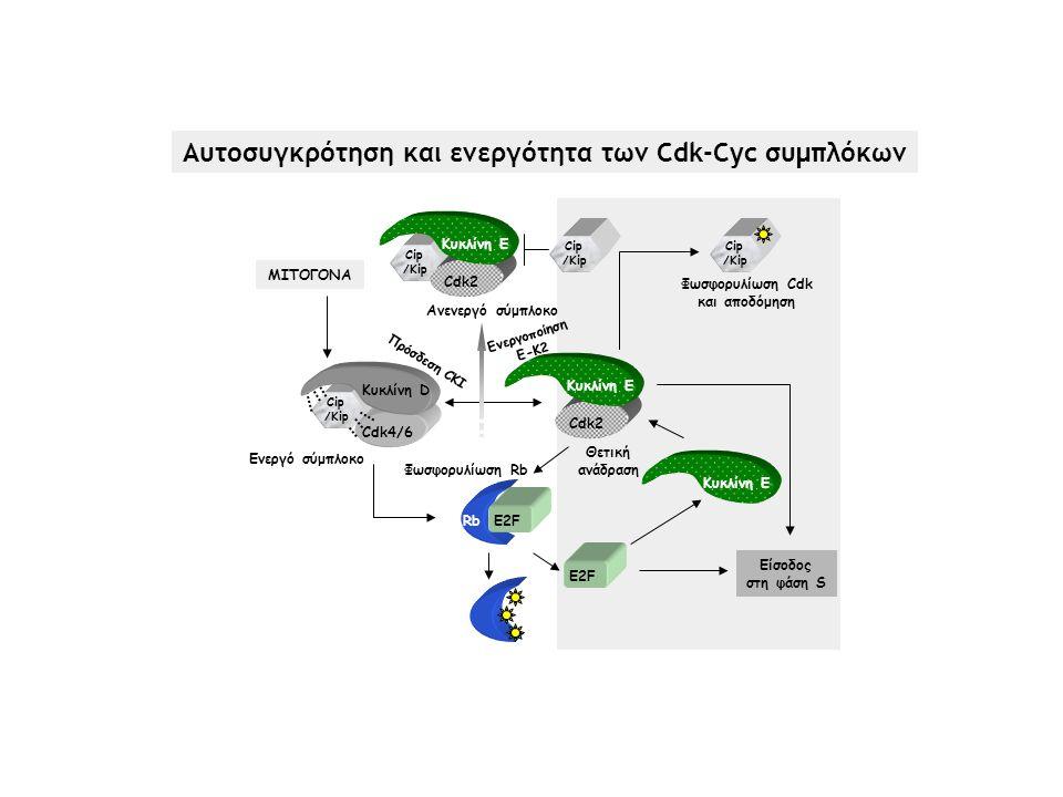 Αυτοσυγκρότηση και ενεργότητα των Cdk-Cyc συμπλόκων