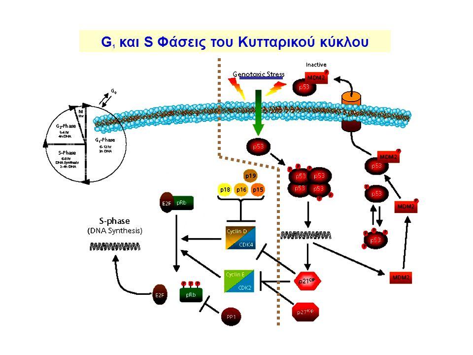 G1 και S Φάσεις του Κυτταρικού κύκλου