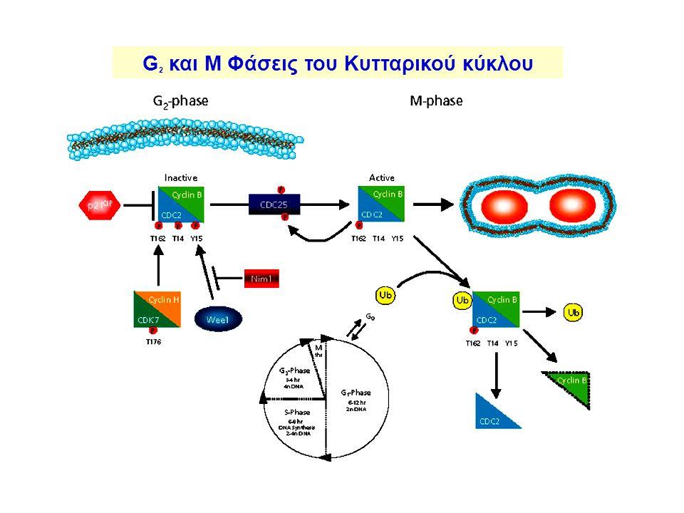 G2 και M Φάσεις του Κυτταρικού κύκλου