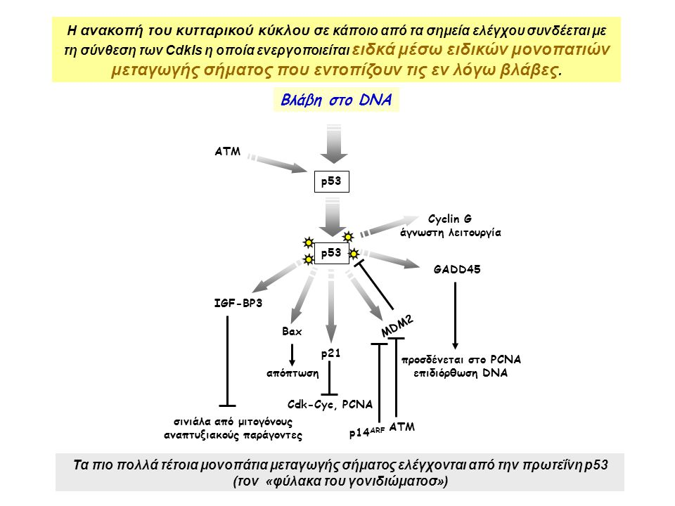 σινιάλα από μιτογόνους αναπτυξιακούς παράγοντες