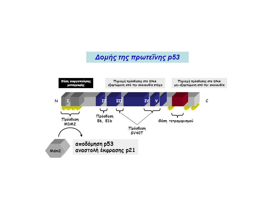 Δομής της πρωτεΐνης p53 αποδόμηση p53 αναστολή έκφρασης p21 Ν C I II