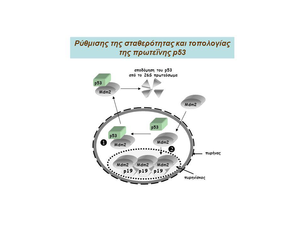 Ρύθμισης της σταθερότητας και τοπολογίας της πρωτεΐνης p53
