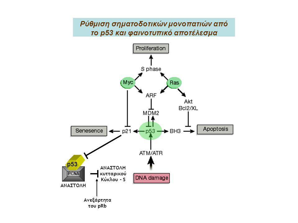 Ρύθμιση σηματοδοτικών μονοπατιών από το p53 και φαινοτυπικό αποτέλεσμα