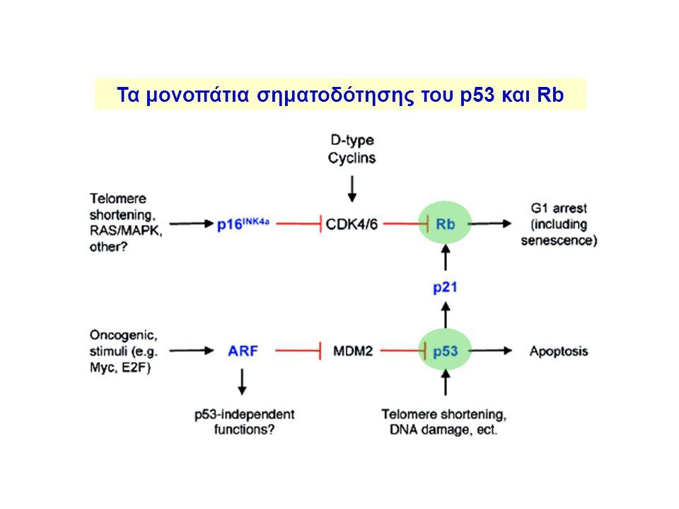 Τα μονοπάτια σηματοδότησης του p53 και Rb