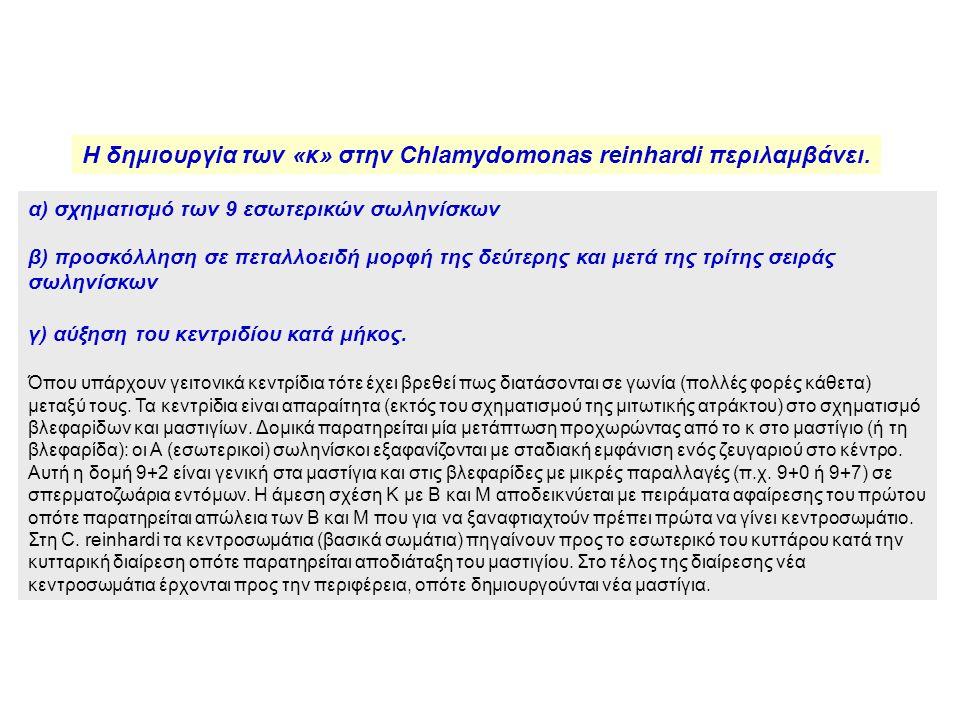 Η δημιουργiα των «κ» στην Chlamydοmοnas reinhardi περιλαμβάνει.