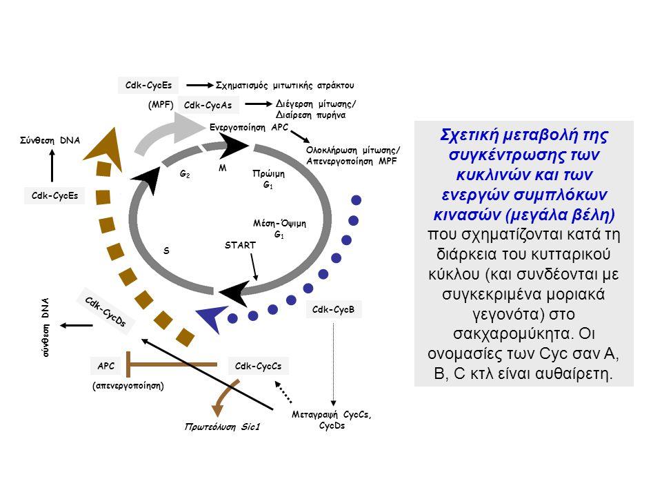 M G2. S. Μέση-Όψιμη. G1. START. Πρώιμη. Πρωτεόλυση Sic1. Cdk-CycCs. APC. Cdk-CycB. Μεταγραφή CycCs,