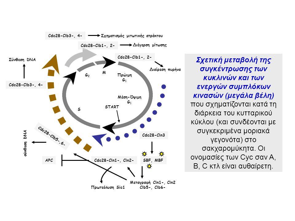 M G2. S. Μέση-Όψιμη. G1. START. Πρώιμη. Πρωτεόλυση Sic1. Cdc28-Cln1-, Cln2- APC. Cdc28-Cln3.
