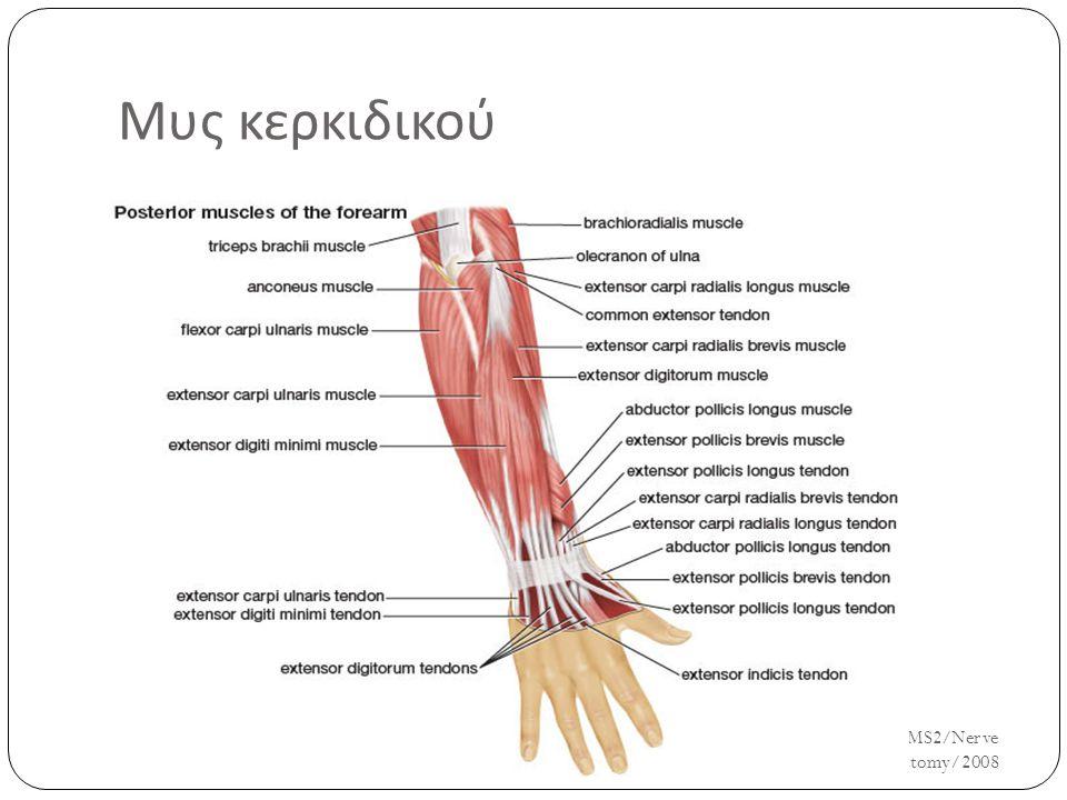 Μυς κερκιδικού UH/AM/SCR/NMS2/Nerve Anatomy/2008