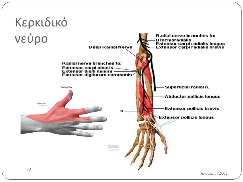 Κερκιδικό νεύρο UH/AM/SCR/NMS2/Nerve Anatomy/2008