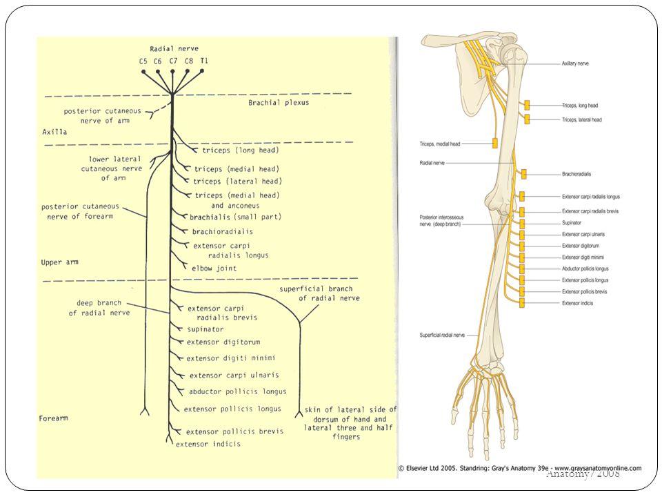κερκιδικό UH/AM/SCR/NMS2/Nerve Anatomy/2008