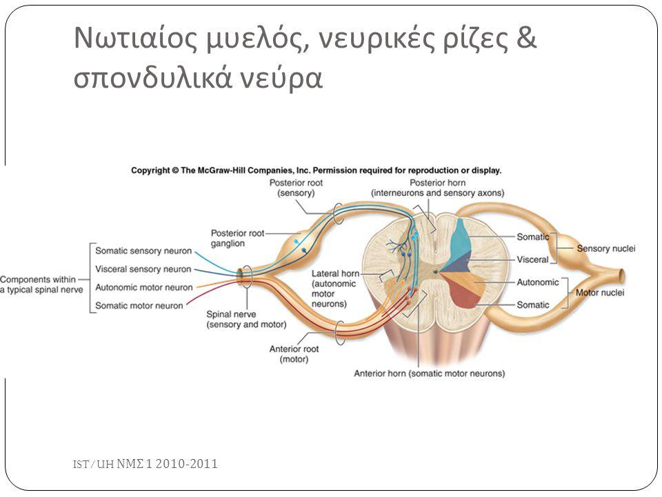 Νωτιαίος μυελός, νευρικές ρίζες & σπονδυλικά νεύρα