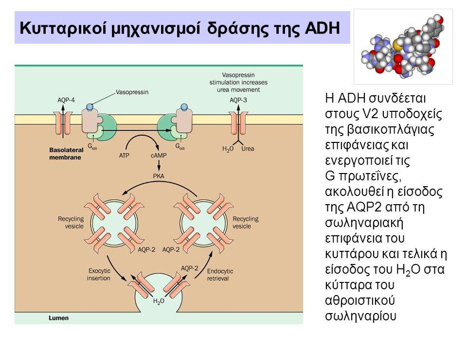 Κυτταρικοί μηχανισμοί δράσης της ADH