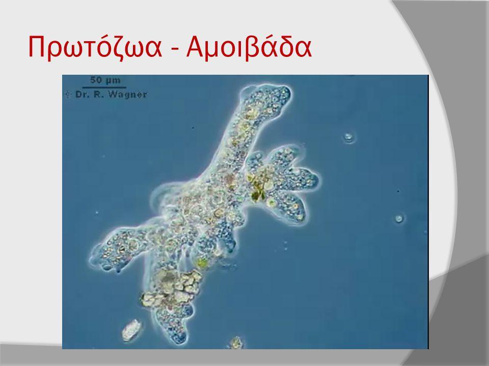 Πρωτόζωα - Αμοιβάδα