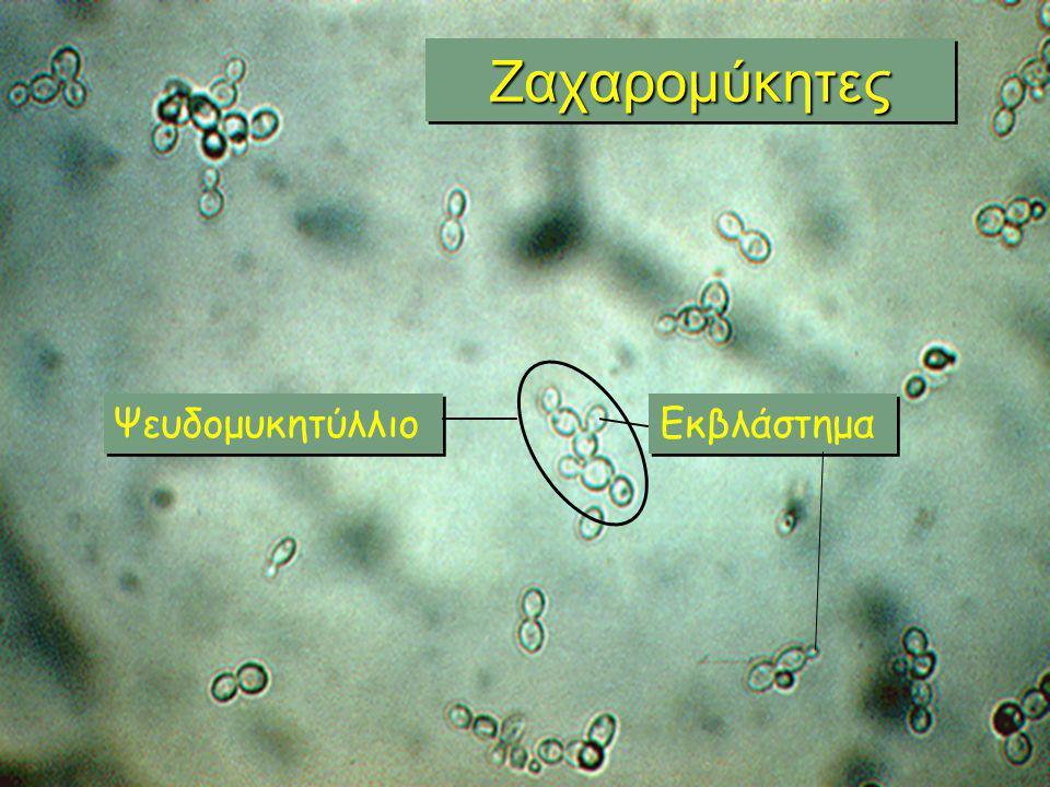 Ζαχαρομύκητες Ψευδομυκητύλλιο Εκβλάστημα