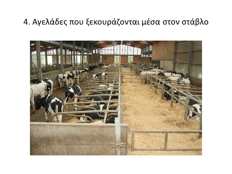 4. Αγελάδες που ξεκουράζονται μέσα στον στάβλο