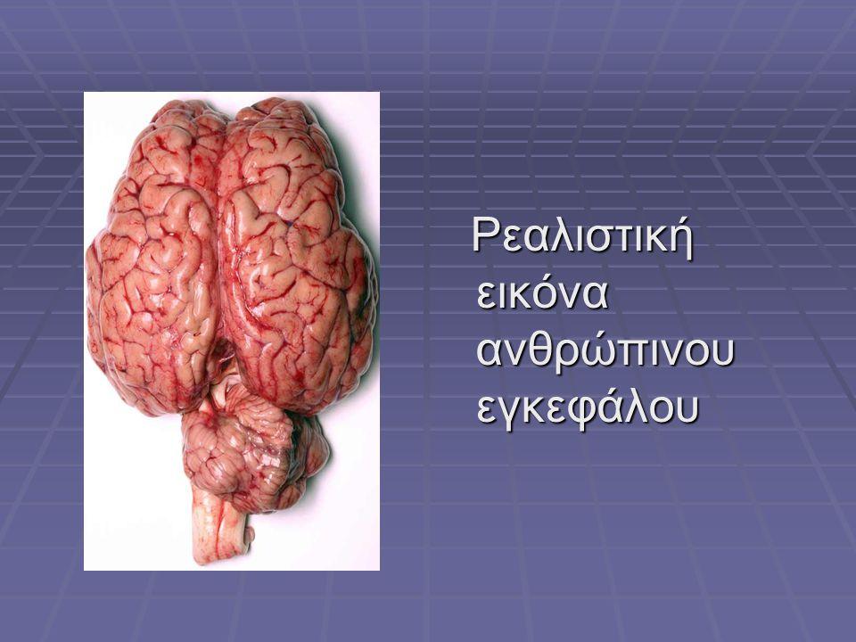 Ρεαλιστική εικόνα ανθρώπινου εγκεφάλου