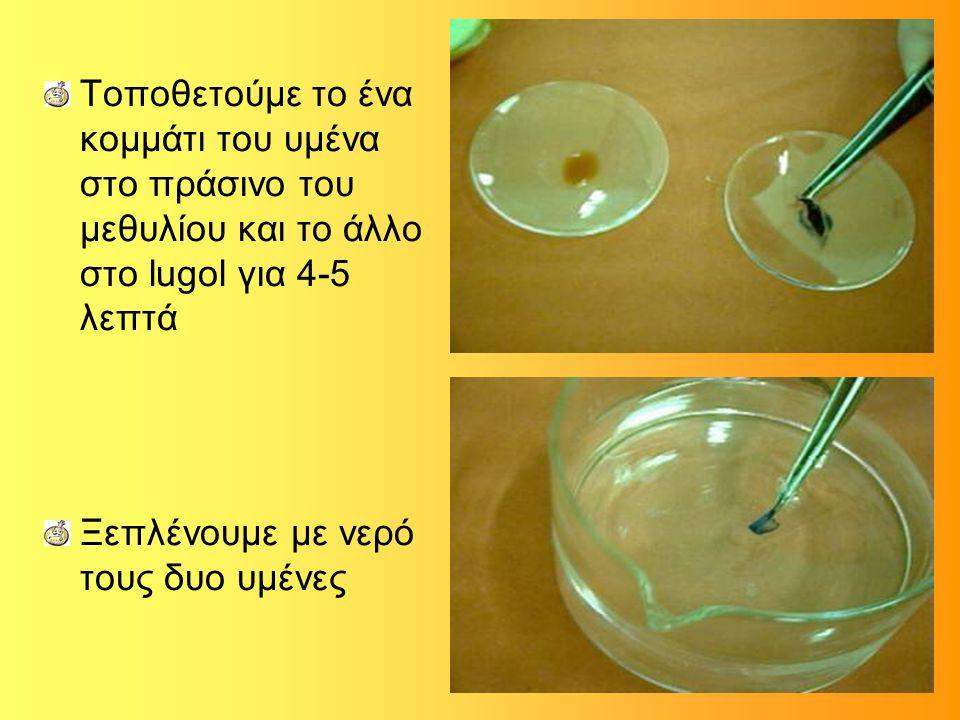 Τοποθετούμε το ένα κομμάτι του υμένα στο πράσινο του μεθυλίου και το άλλο στο lugol για 4-5 λεπτά