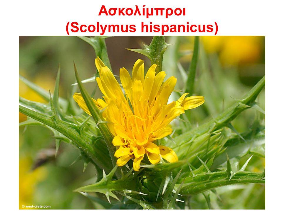 Aσκολίμπροι (Scolymus hispanicus)