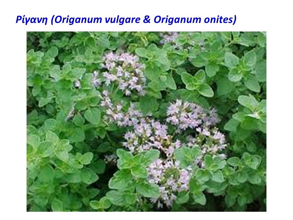 Ρίγανη (Origanum vulgare & Origanum onites)