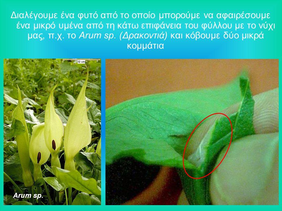 Διαλέγουμε ένα φυτό από το οποίο μπορούμε να αφαιρέσουμε ένα μικρό υμένα από τη κάτω επιφάνεια του φύλλου με το νύχι μας, π.χ. το Arum sp. (Δρακοντιά) και κόβουμε δύο μικρά κομμάτια