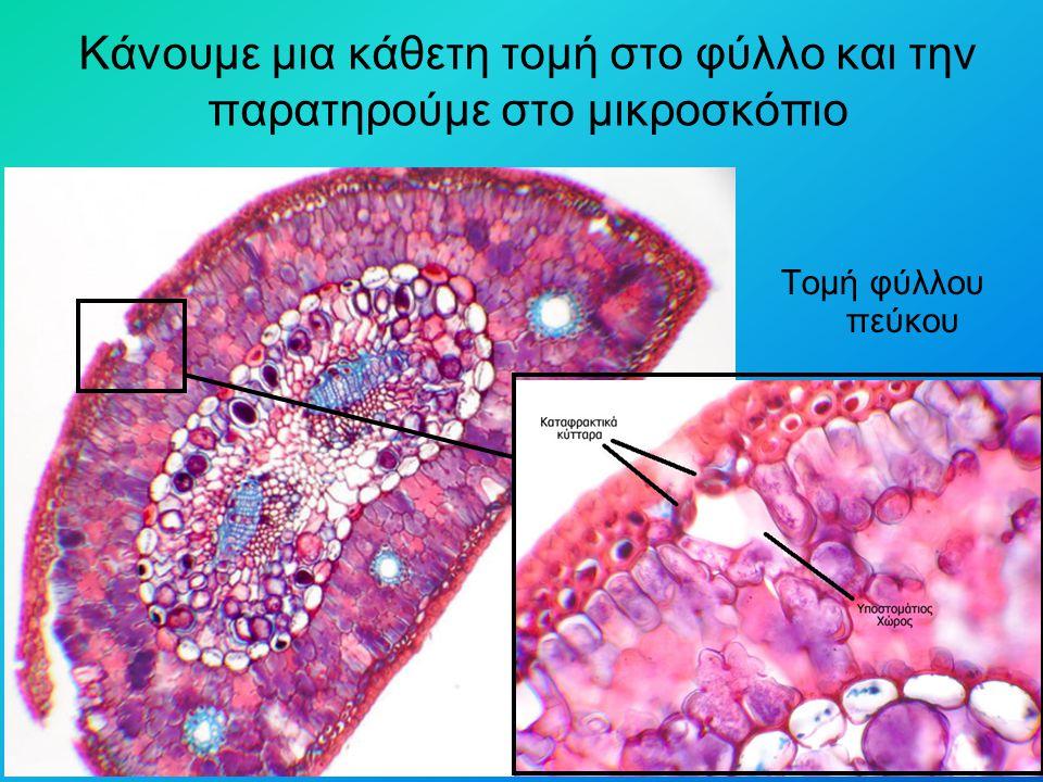 Κάνουμε μια κάθετη τομή στο φύλλο και την παρατηρούμε στο μικροσκόπιο