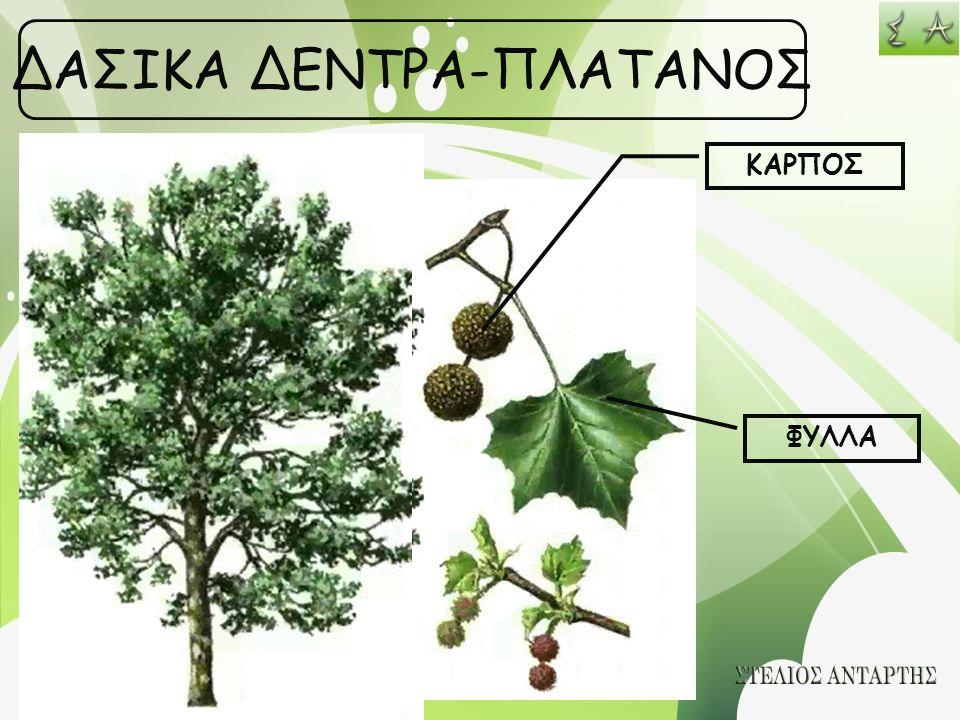 ΔΑΣΙΚΑ ΔΕΝΤΡΑ-ΠΛΑΤΑΝΟΣ