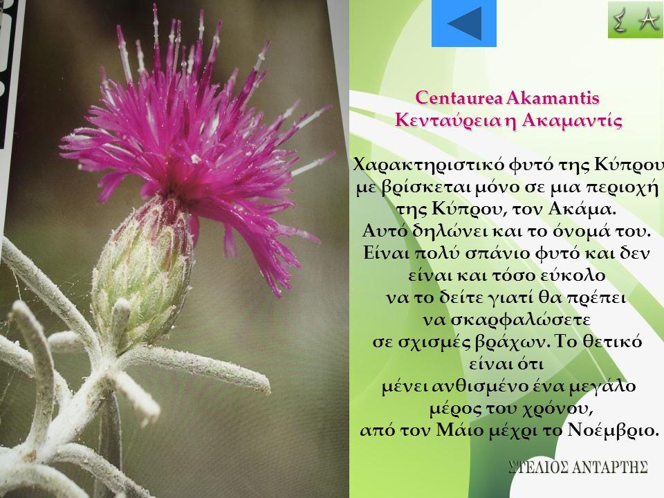 Κενταύρεια η Ακαμαντίς Χαρακτηριστικό φυτό της Κύπρου