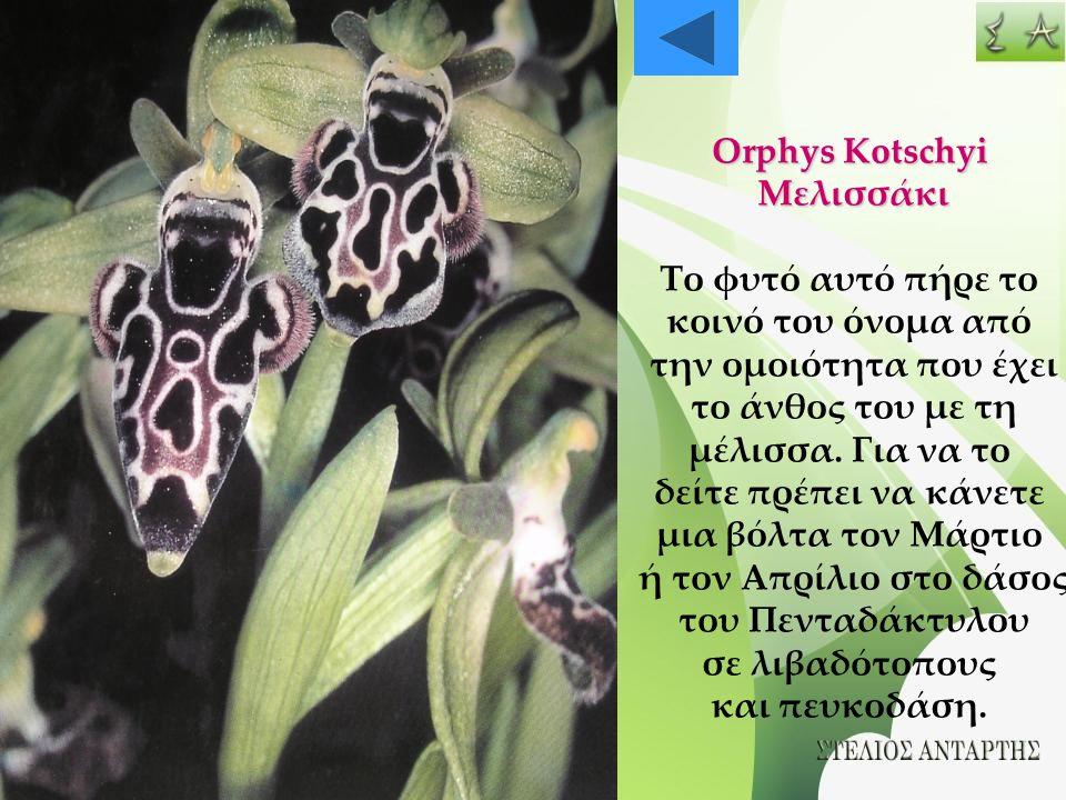 Orphys Kotschyi Μελισσάκι. Το φυτό αυτό πήρε το. κοινό του όνομα από. την ομοιότητα που έχει. το άνθος του με τη.