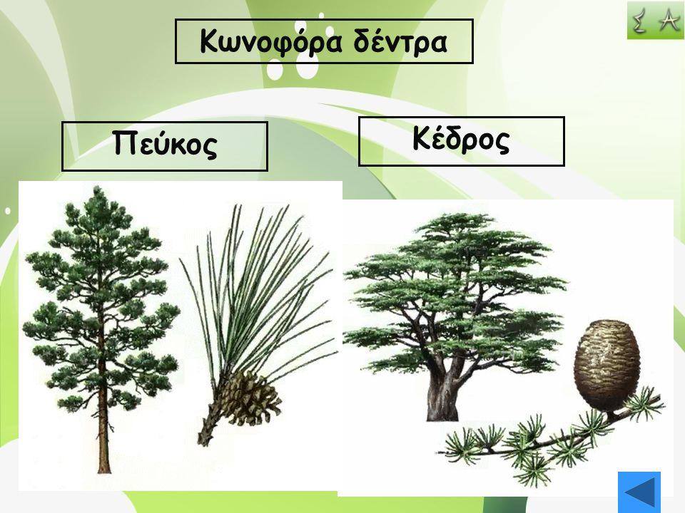 Κωνοφόρα δέντρα Κέδρος Πεύκος