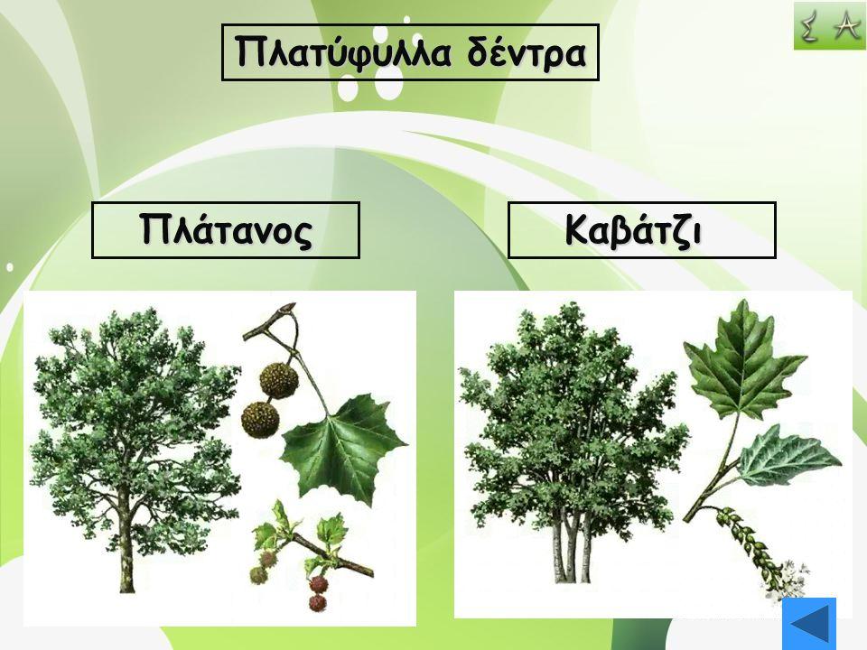 Πλατύφυλλα δέντρα Πλάτανος Καβάτζι