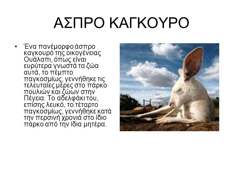 ΑΣΠΡΟ ΚΑΓΚΟΥΡΟ