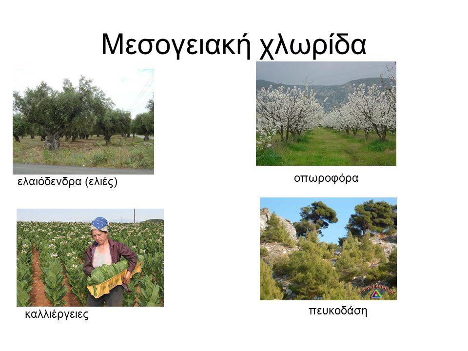 Μεσογειακή χλωρίδα οπωροφόρα ελαιόδενδρα (ελιές) πευκοδάση