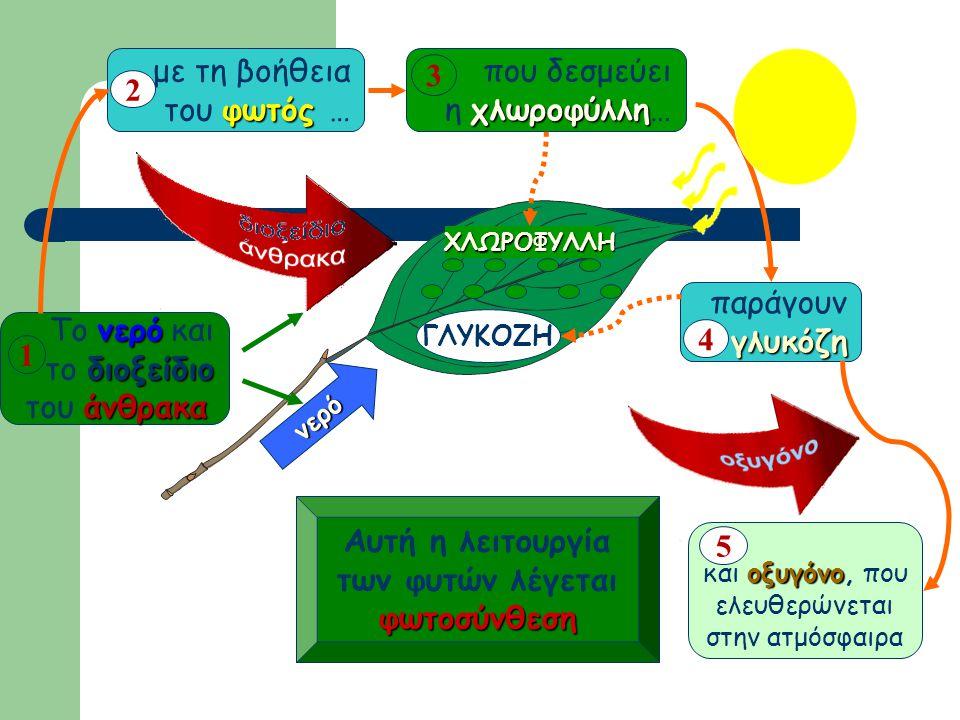με τη βοήθεια του φωτός … 2 που δεσμεύει η χλωροφύλλη… 3 παράγουν
