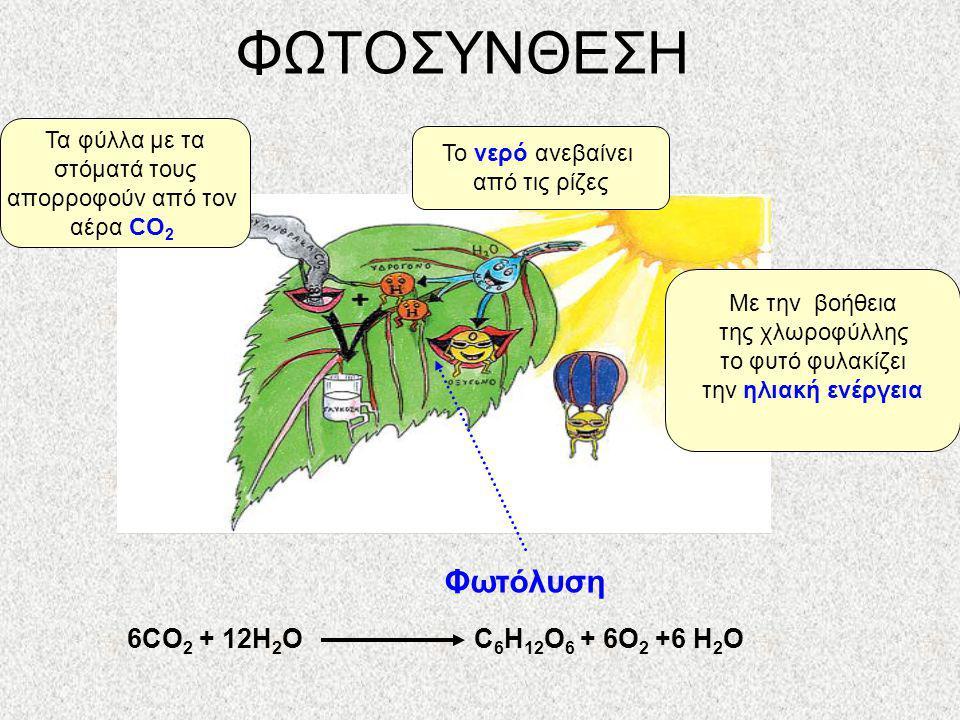 ΦΩΤΟΣΥΝΘΕΣΗ Φωτόλυση 6CO2 + 12H2O C6H12O6 + 6O2 +6 H2O Τα φύλλα με τα