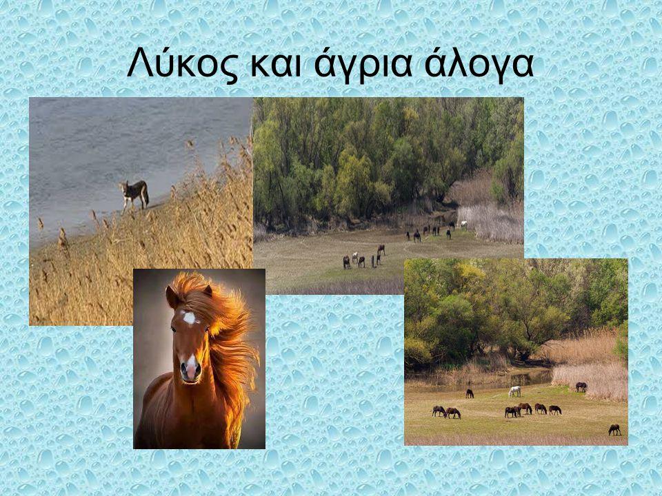 Λύκος και άγρια άλογα